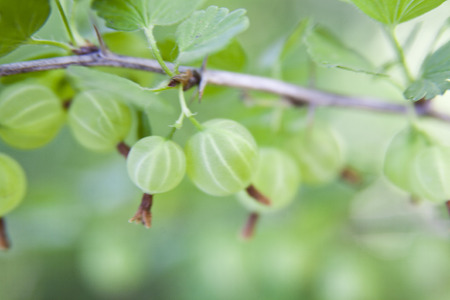gooseberry in the garden with a defocused background Reklamní fotografie