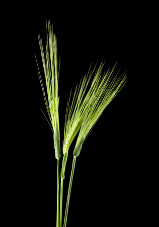 barley spikes isolated on a black background Stok Fotoğraf
