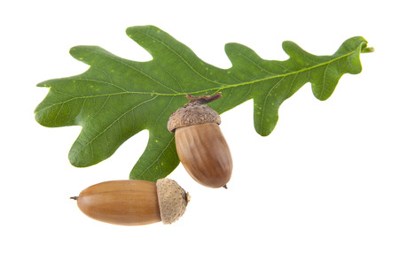 green oak leaves and acorns isolated on white background