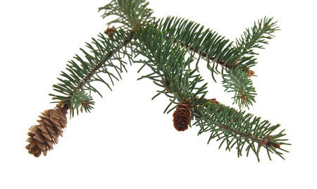green branch of Christmas tree with cones isolated on white background Stockfoto