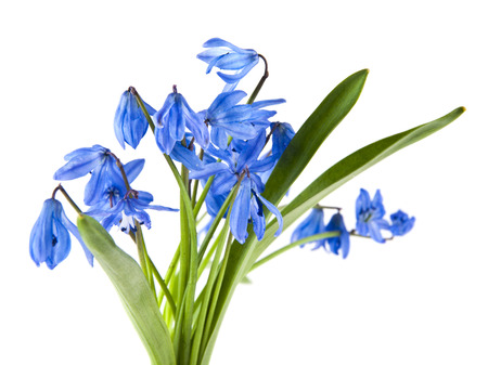 blue scilla flowers isolated on white background Imagens