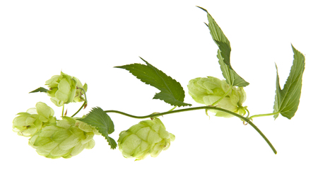 green hop isolated on white background. As an element of packaging design. Stock Photo