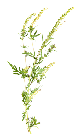 ragweed isolated on white background 写真素材