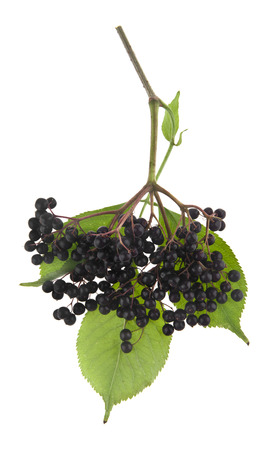 elderberry berries isolated on white background Stok Fotoğraf