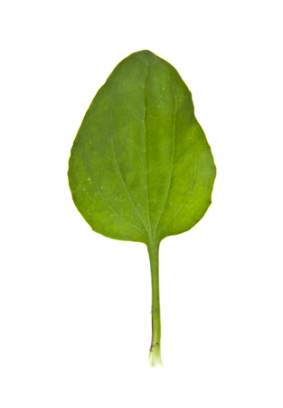 plantain leaves isolated on white background
