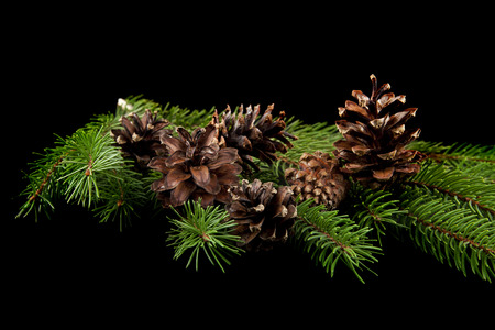 branch of a tree with cones on a black background Banco de Imagens