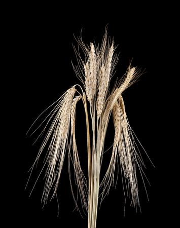 spikelets on a black background Stok Fotoğraf