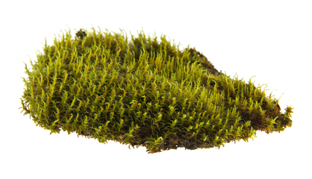moss isolated on white background closeup