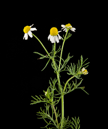 chamomile isolated on black background