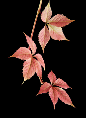Autumnal vine leaves isolated on a black background