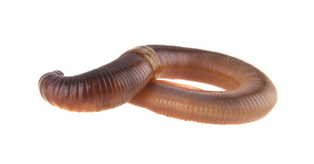 worm isolated on white background close-up Banque d'images - 112333005
