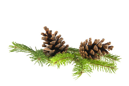 Branch of Christmas tree with cones isolated on white background