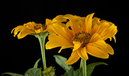 Yellow flowers on a black background closeup