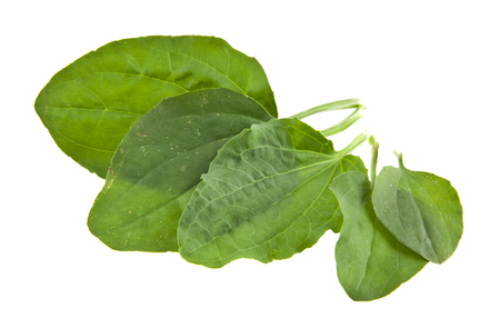 Plantain leaves isolated on white background closeup