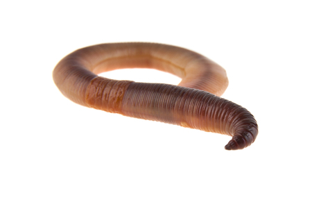 worms isolated on white background closeup Banque d'images - 113711432