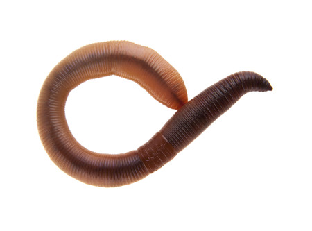 worms isolated on white background closeup Banque d'images - 113711434