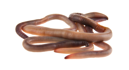 worms isolated on white background closeup Banque d'images - 113711438