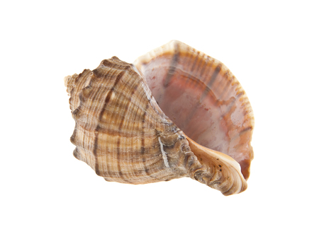 Shell isolated on white background closeup