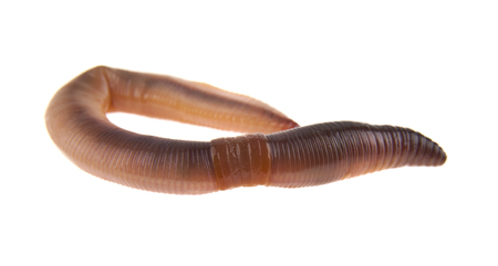 worm isolated on white background closeup Banque d'images - 113713045