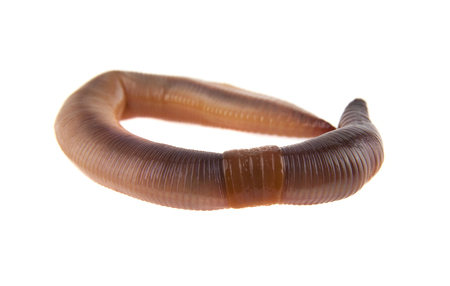worm isolated on white background closeup Banque d'images - 113713046