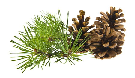green pine branch with cones isolated on white background