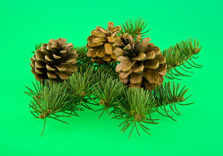 tree branch and cones on a green background