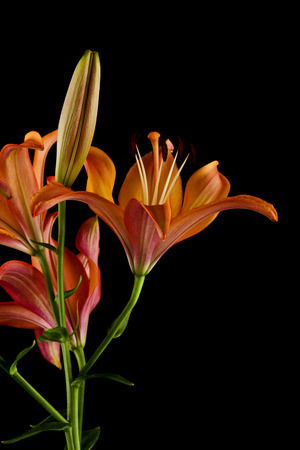 lilies isolated on black background