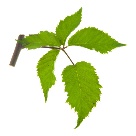 blackberry leaves isolated on white background