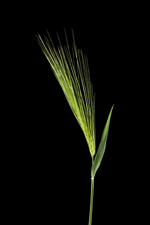 spikelets isolated on black background