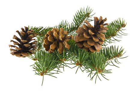 Branche d'arbre et cônes isolés sur fond blanc Banque d'images