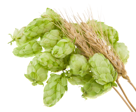 hops with spikelet isolated on white background