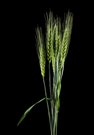 green spikelets isolated on a black background Standard-Bild - 118700284