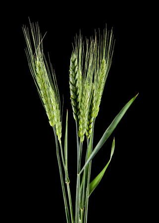 green spikelets isolated on a black background