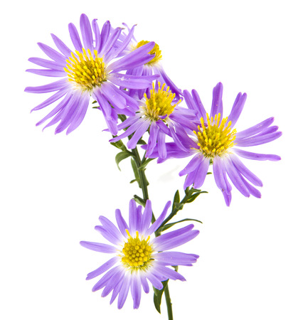 alpine aster isolated on white background