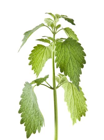 feuilles d'ortie verte isolés sur fond blanc close up Banque d'images