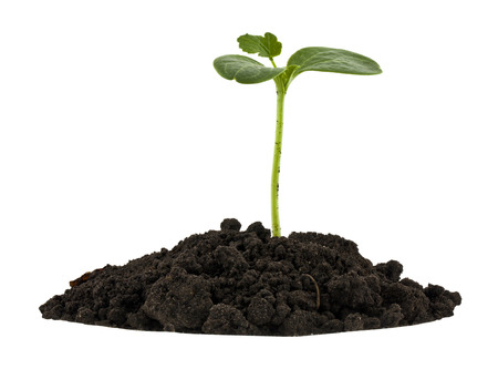 Green plant in a pile of soil isolated on white background close up. Reklamní fotografie