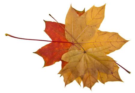 Cerrar las hojas de otoño aisladas sobre fondo blanco Foto de archivo