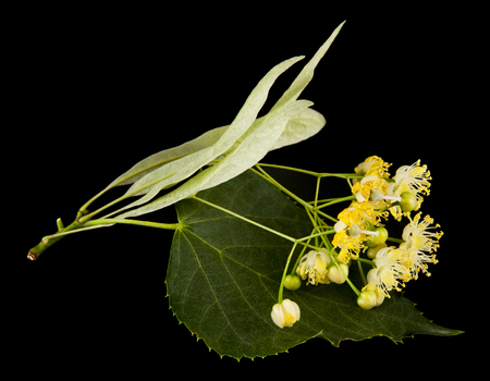 linden flowers isolated on black background