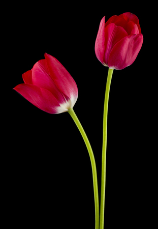 Tulips flowers isolated on black background Stock Photo