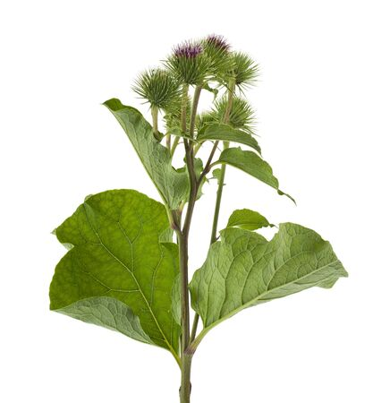 Burdock green flowers isolated on white background. Therapeutic medicinal plant.