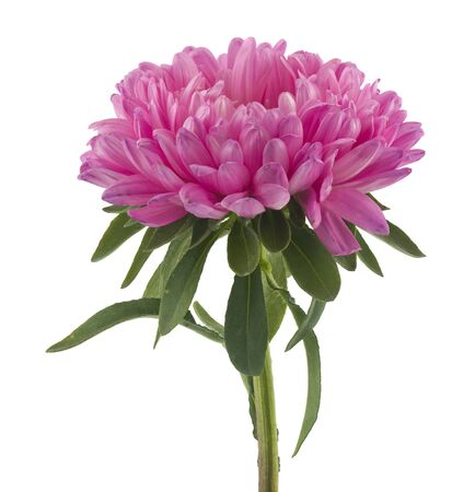 Pink aster isolated on white background.