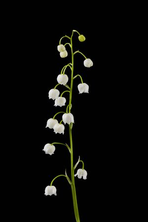 Flowers of lilies of the valley isolated on a black background.