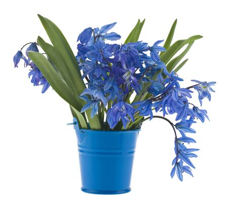 Scílla flowers in a blue bucket isolated on a white background close-up. Blue snowdrops.