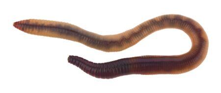 Worms isolated on a white background close-up. Standard-Bild