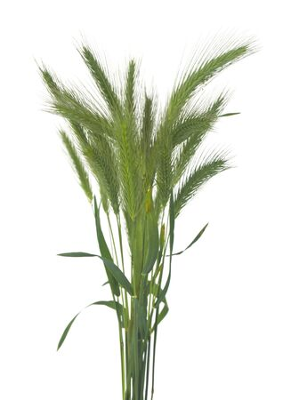 Green spikelets isolated on a white background close-up. Banque d'images