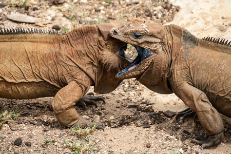 Two iguanas look at each other. Cyclura cornuta. Dominican republic