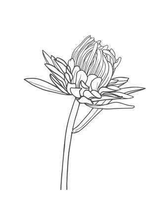 Hand-drawn chrysanthemum bud isolated on white background. Vector illustration Ilustração