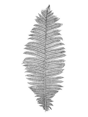 Hand-drawn fern isolated on white background. Vector illustration
