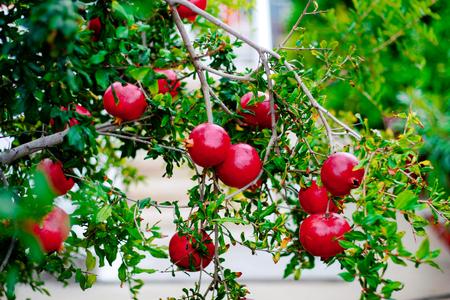 녹색 나무에 빨간색 잘 익은 석류