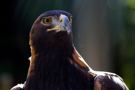 aigle royal: Golden Eagle